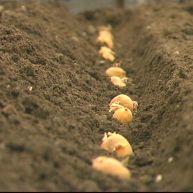 Pommes de terre en terre
